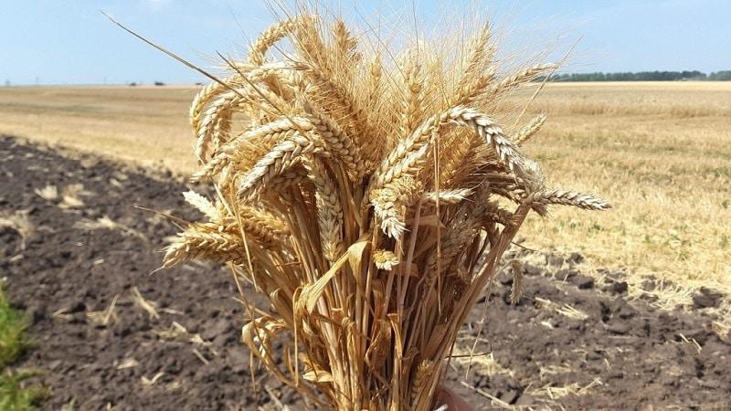 Обзор сорта озимой пшеницы Алексеевич: характеристика и описание