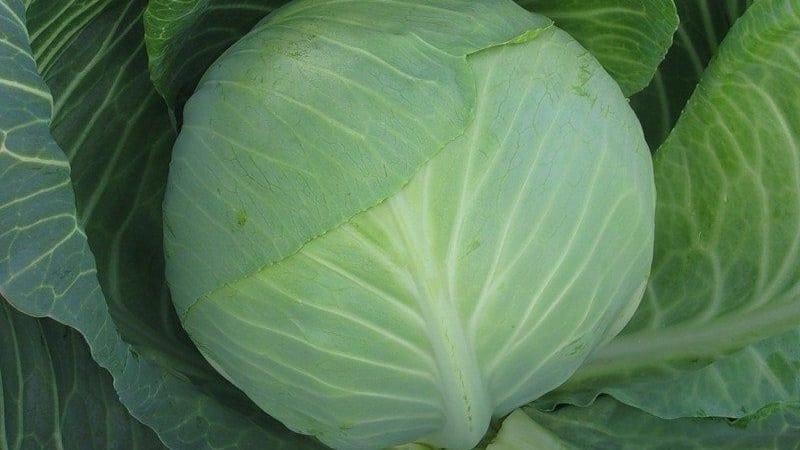 Подборка лучших сортов капусты для хранения на зиму и рекомендации по её выращиванию