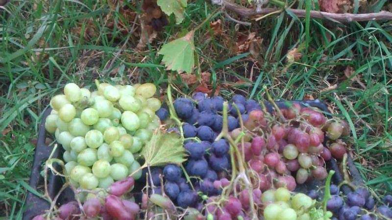 Описание самых вкусных сортов винограда