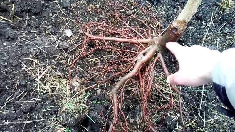 Поэтапная инструкция по посадке персика осенью от опытных садоводов