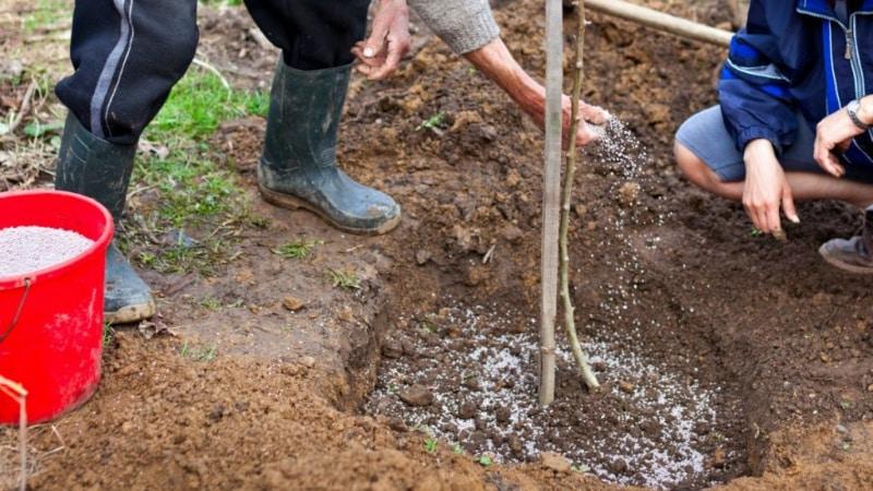 Как правильно произвести посадку вишни осенью: инструкция для начинающего садовода