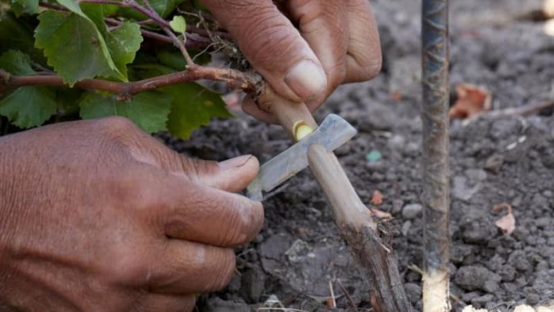 Пошаговая инструкция по прививке винограда осенью