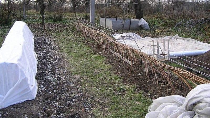 Правильный уход за малиной осенью: подготовка к зиме поэтапно