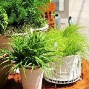 Применение луковой шелухи для сада и огорода