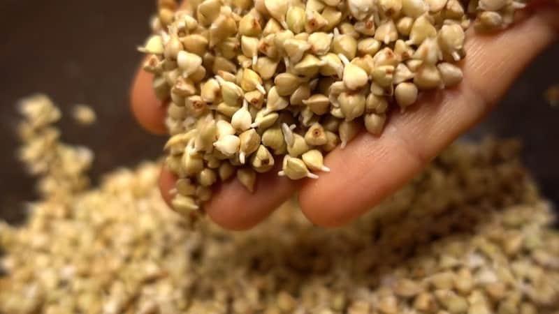 Как правильно прорастить зеленую гречку в домашних условиях