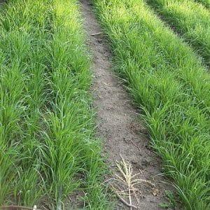 Посеять пшеницу в огороде