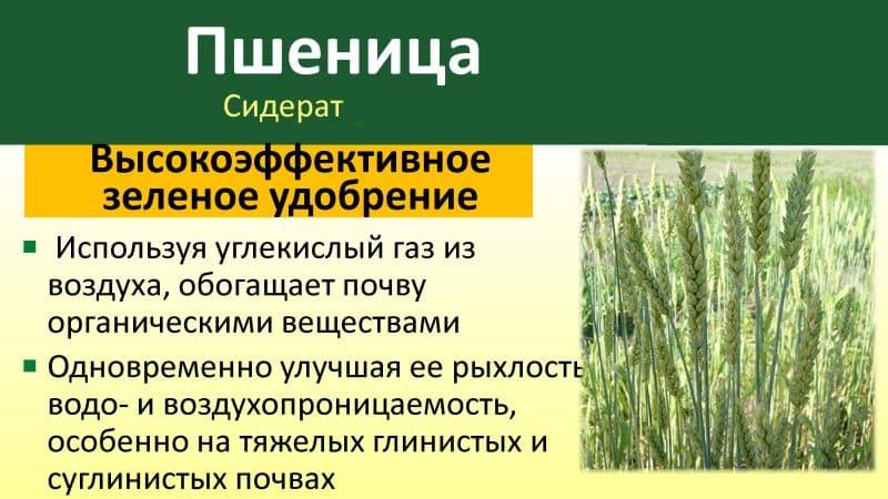 Руководство по использованию пшеницы как сидерата осенью и весной