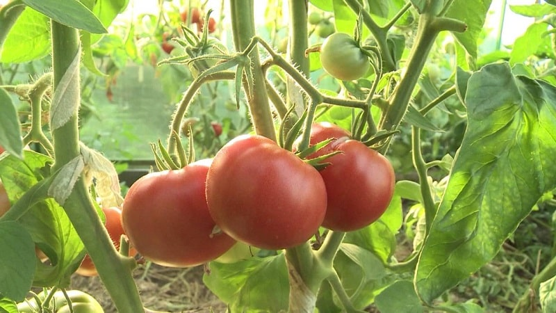 Разновидности сортов и гибридов помидоров и их характеристики