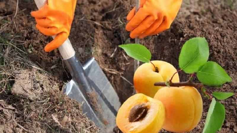 Руководство по посадке абрикоса осенью для начинающих садоводов