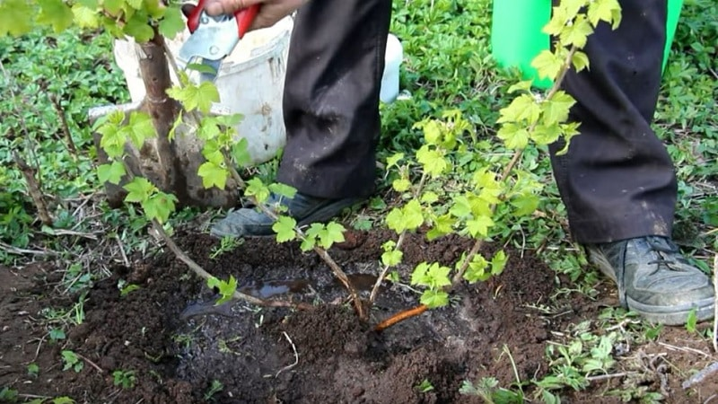 Руководство по посадке смородины осенью для начинающих садоводов