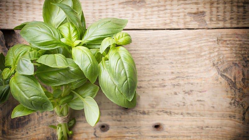 Огород круглый год: можно ли сажать базилик под зиму и как сделать это правильно