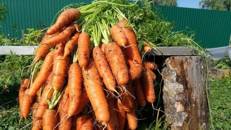 Сладкий среднеспелый сорт моркови Нантская 4