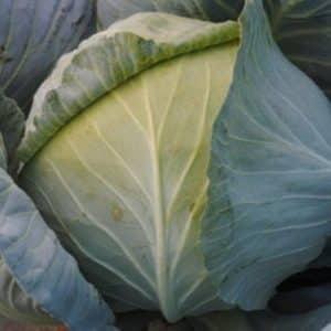 Обзор сорта белокочанной капусты Доминанта f1