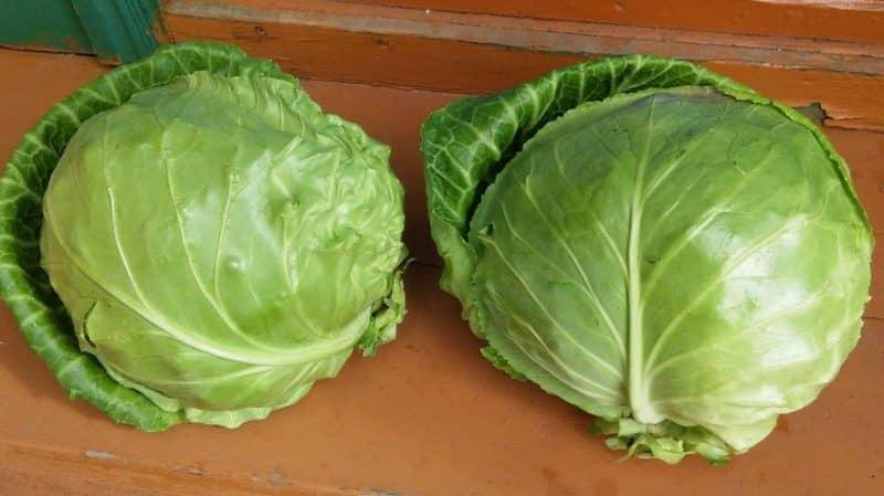 Обзор сорта капусты Харьковская зимняя: отзывы, характеристики и особенности выращивания