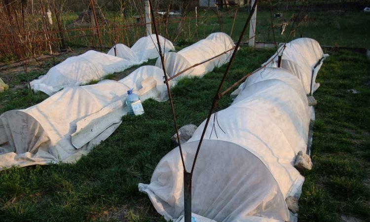 Какие существуют способы укрытия винограда на зиму в средней полосе