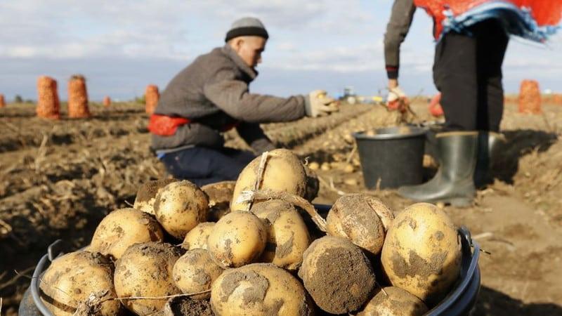 Топ стран-лидеров по сборам картофеля во всем мире