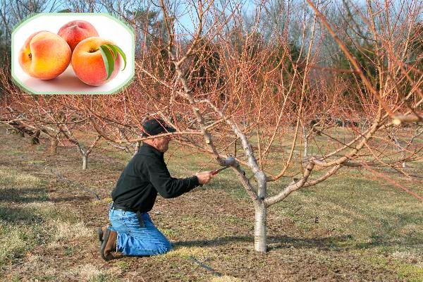 Какой необходим уход за персиком осенью для подготовки к холодам