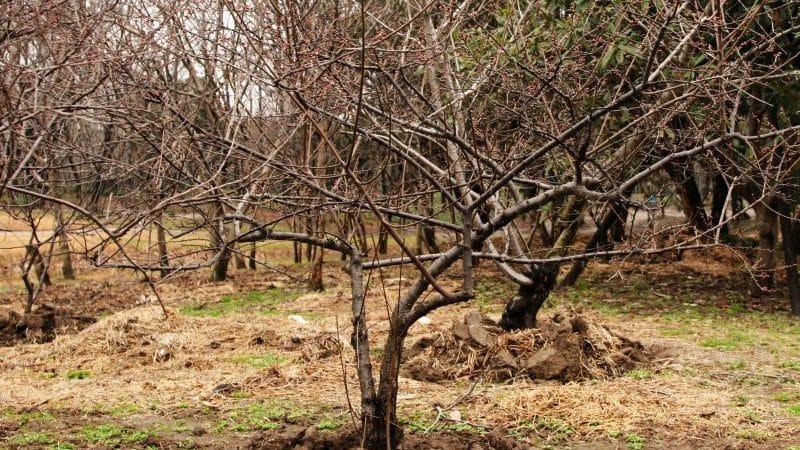 Что должен включать уход за вишней осенью: руководство от опытных садоводов