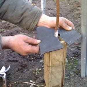 Как правильно укрыть абрикос на зиму и подготовить дерево к холодам