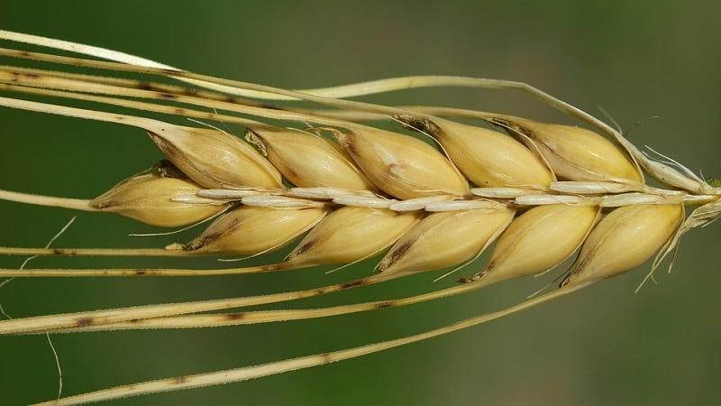 Какова урожайность ячменя с 1 га земли и от чего она зависит