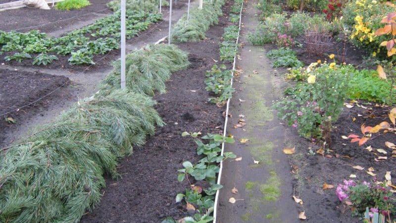 Особенности утепления винограда в Подмосковье: как и когда лучше укрыть на зиму