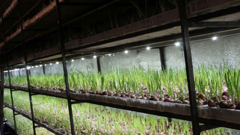 Руководство по выращиванию зеленого лука в подвале для начинающих