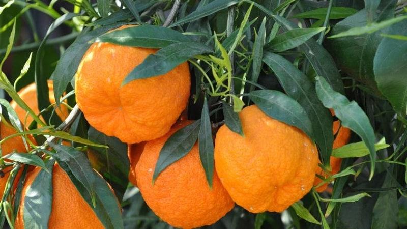 Чем полезен горький апельсин (померанец) и каким образом его применяют