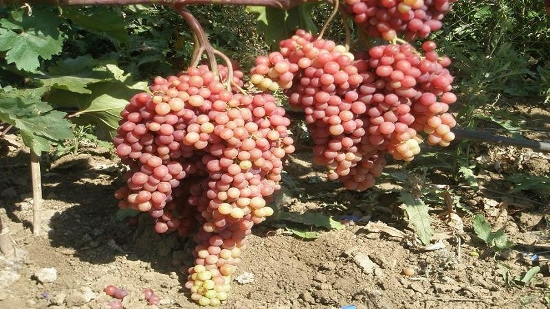 Нежный, ароматный сорт винограда Велес от украинских селекционеров