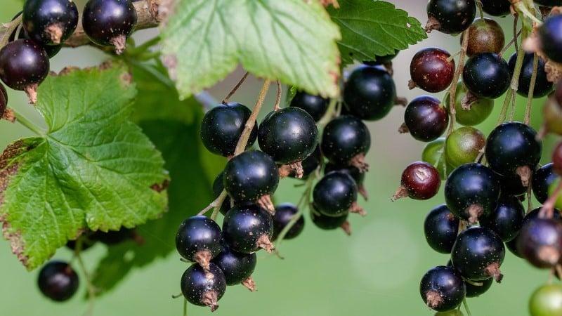 Чем обработать белый налет на листьях смородины: химические препараты и народные средства