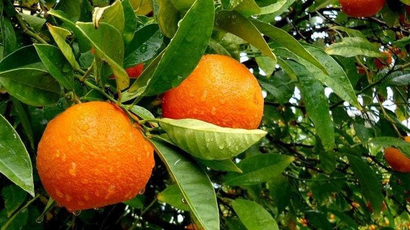 Что такое апельсиновое дерево и как оно цветет