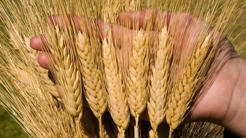 Что такое твердая пшеница: описание, сферы применения и отличия от мягких сортов
