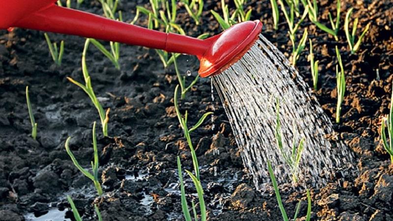 Выбираем подкормку для лука весной и вносим правильно для получения богатого урожая