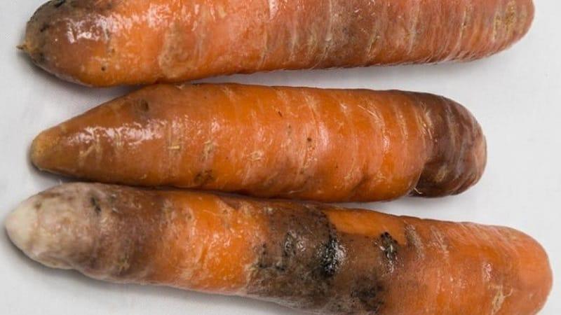 Что делать, если гниет морковь при хранении и почему так происходит