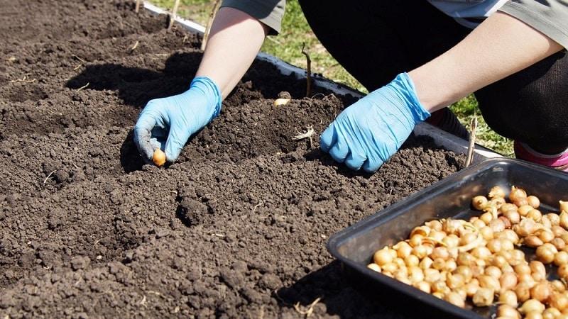 Инструкция по выбору сорта и посадке голландского лука на зиму