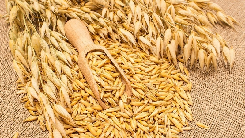 Как подготовить семена овса для посева, посадить их правильно и вырастить богатый урожай