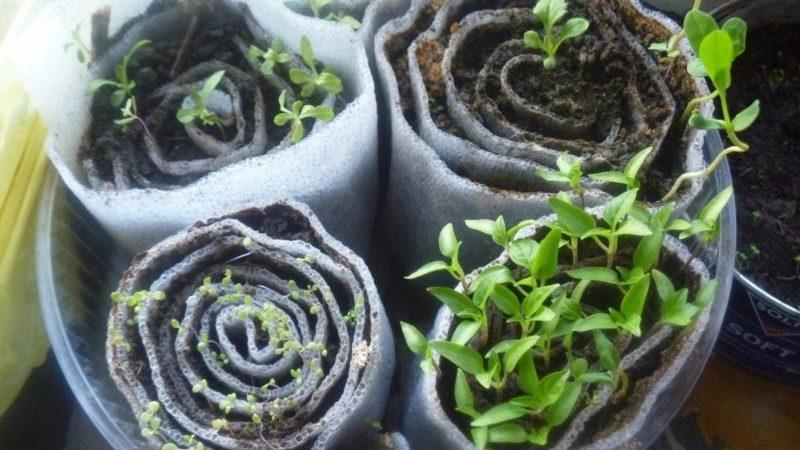 Как правильно проращивать базилик на рассаду в улитке