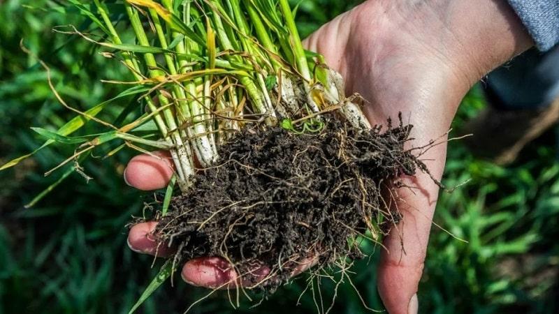 Какая корневая система у пшеницы и в чем её особенности