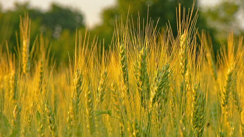 Какие бывают классы пшеницы и чем они отличаются друг от друга