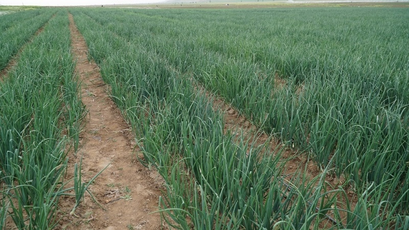 Какова урожайность лука с 1 га и как её повысить