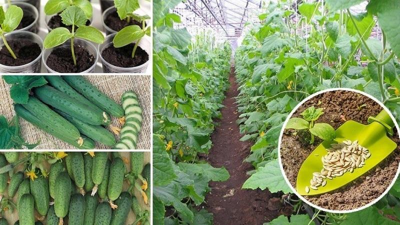 Какова урожайность огурцов в теплице с 1 квадратного метра и как её повысить