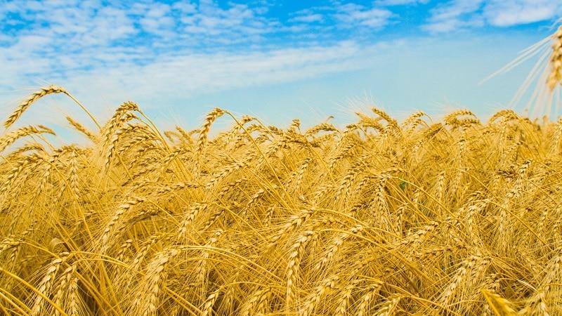 Какова урожайность пшеницы с 1 га и от чего она зависит