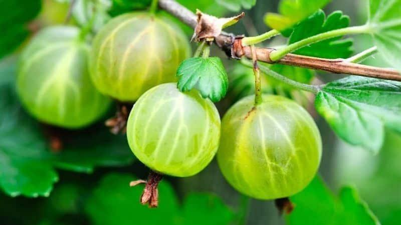 Крыжовник обыкновенный – это ягода или фрукт, как он выглядит, где растет и как называется по-другому