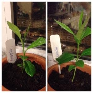 Как в домашних условиях вырастить лимон из косточки: посадка, уход, нюансы и ошибки