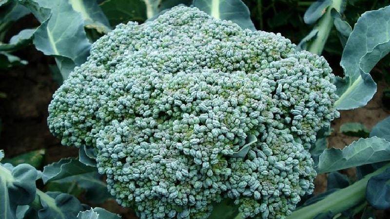 Лучшие сорта и гибриды капусты брокколи для Сибири и особенности их выращивания