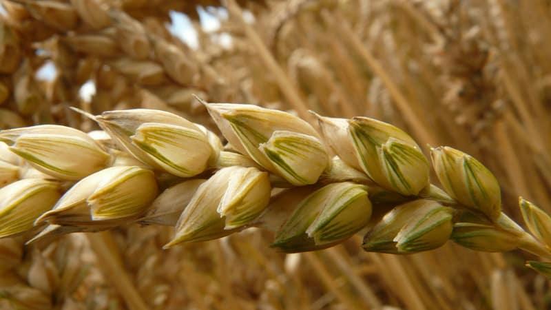 Лучшие сорта яровой пшеницы: характеристика Уралосибирской, Дарьи, Омской и других