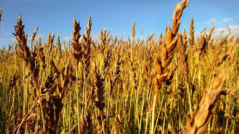 Все о выращивании яровой пшеницы: технология возделывания от посева до уборки урожая