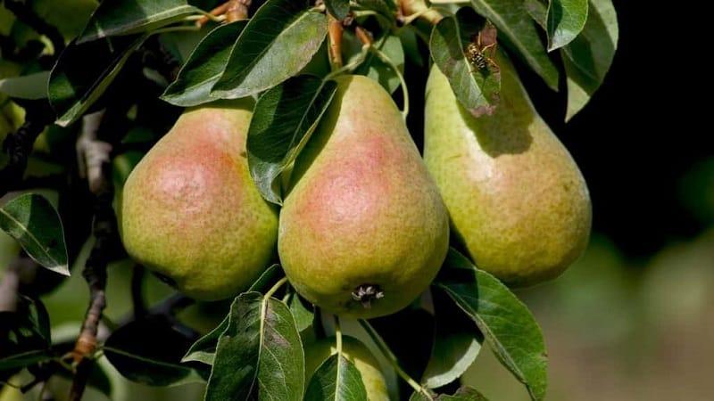 """Морозостойкий высокоурожайный сорт груши """"Кафедральная"""""""