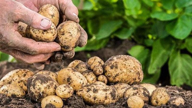 Можно ли есть мягкую картошку и почему она вянет в земле