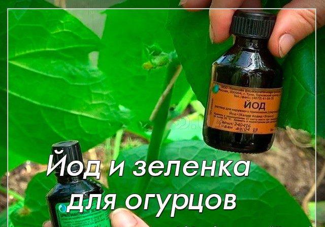 Почему появляются коричневые пятна на листьях огурцов и что делать, чтобы от них избавиться