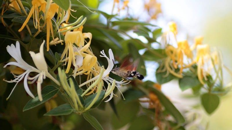 Особенности и правила выращивания японской жимолости (сорта Ауреоретикулата, Халиана, Пурпуреа, Пестролистная)